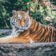 Több tigrist tartanak fogságban az Egyesült Államokban, mint ahány szabadon él a világban