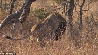 Műanyagszennyezés: már az oroszlánok is szemeteszsákkal játszanak a szavannán