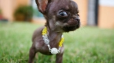 49-szer klónozták Csoda Millyt, a világ legkisebb kutyáját