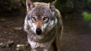 Radioaktív farkasok lephetik el Európát?