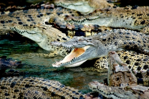 crocodiles-587833_960_720