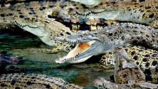 300 krokodilt gyilkoltak le Pápuaföldön