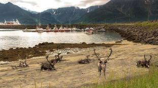 Norvégiában az alagutakba menekülnek a rénszarvasok a rekordmeleg elől