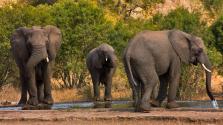 Szomjas elefántok leptek meg egy turistapárt Dél-Afrikában – videó