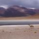 Értékesebb az aranynál: a világ legritkább gyapja a vikunyáé