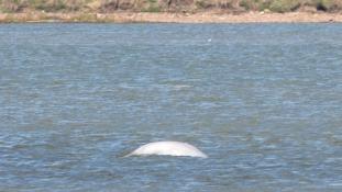 Bálna a Temzében: évek óta ez az első beluga, ami felúszott a folyón