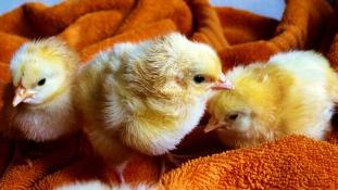 Csirketerápia egy brit idősotthonban