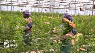 Kína egyre aktívabb Kenya 800 millió dolláros virágpiacán