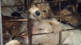 Betiltották a kutyahúst Hanoiban
