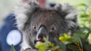 Koalaklán Európában – videó