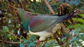 Kereru, a részeges galamb az év madara Új-Zélandon – videó