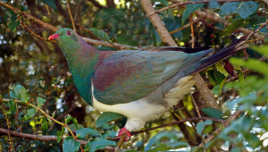Kereru._NZ_Wood_Pigeon._(25446646940)