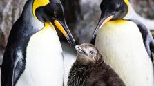 Hím pingvinpár nevel egy kispingvint – videó