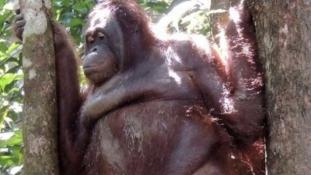 Orángután mint szexrabszolga