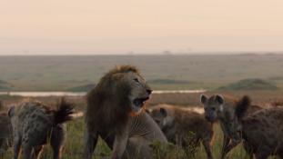 Élet-halál harc: 20 hiéna ellen küzd egy oroszlán