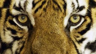 Levadászták az emberevő tigrist Indiában