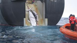 Japán újrakezdi a bálnavadászatot