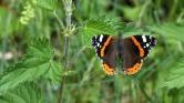 Négyezer kilométert repülnek a csodaszép pillangók a fagy elől – videó