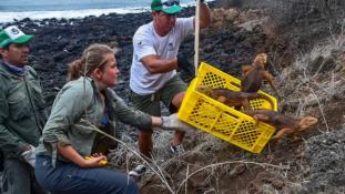 Közel 200 év után tértek vissza a leguánok a Galápagos-szigetek egyik szigetére