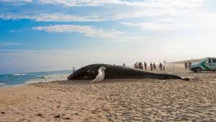 Ez történik a bálnákkal, mielőtt partra vetik magukat