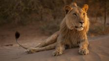 Namíbia oroszlánjai már fókákra és madarakra vadásznak