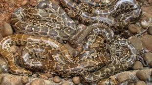 Ötméteres óriáskígyó okozott pánikot a templomban