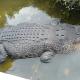 Éhes krokodilja falta fel a kutatónőt Indonéziában