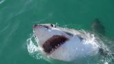 Nagy fehér cápa Hawaii közelében