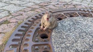 Hősként ünneplik a hájas patkányt megmentett tűzoltókat
