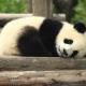 Beesett egy kislány a pandák közé – videó