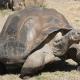 Mégsem halt ki az óriásteknős a Galápagos-szigeteken