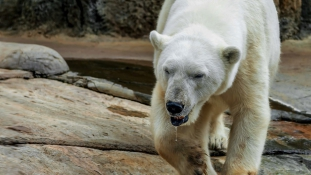 Szükségállapotot hirdettek a jegesmedvék miatt