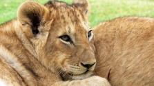 Manikűr az oroszlánnak – videó