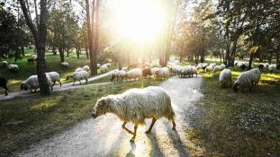 Fűnyíró helyett: juhok tartják karban Madrid legnagyobb parkját