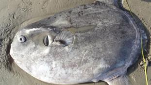 Ritka óriáshalat sodort partra a víz Kaliforniában