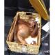 Elkábított orángután a bőröndben – letartóztatták az orosz turistát Balin