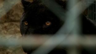 Szelfi jaguárral – a nő majdnem belehalt – videó