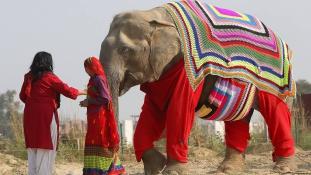 Pulcsikat kötnek a fázó elefántoknak a falusiak