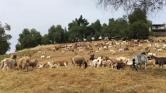 Kecskékkel fékezik meg az erdőtüzeket Nevadában