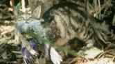 Tíz ausztrál dollár egy kóbor macska skalpjáért