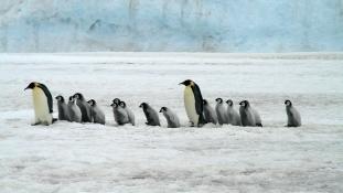 Több ezer kis császárpingvin fulladt a vízbe – eltűnt a második legnagyobb kolónia