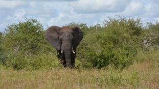 Az elefánt megölte, az oroszlánok felfalták az orvvadászt