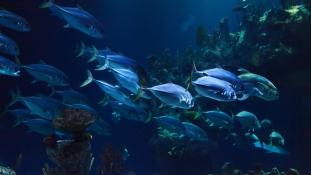 Uszonyos kémek: halakat vetne be a Pentagon a víz alatti drónok feltérképezésére