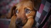 Hordja a nyakában halott kutyáját