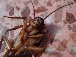 cockroach-15093_960_720