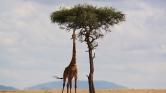Szép lassan ők is kihalhatnak: a zsiráfok is veszélyben vannak