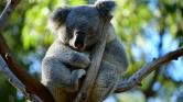 Miért égett el több száz koala élve Ausztráliában?