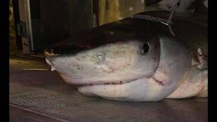 Horror: a cápa gyomrában találták meg az eltűnt férfi karját