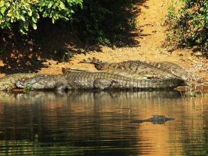 Nile_Crocodile,_Charara_River_Kariba_Zimbabwe11.8.09