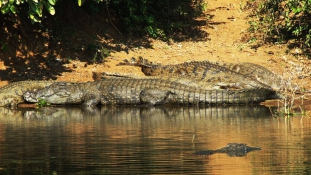 Kivájta a krokodil szemét a kislány, hogy megmentse a barátját
